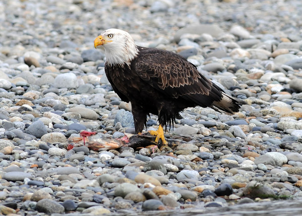 Bald Eagle eating chum salmon left on gravel bar