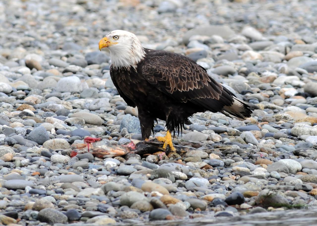 Bald Eagle eating chum salmon left on gravel bar