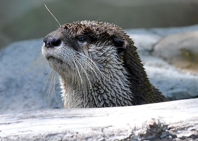 Clawless Otter