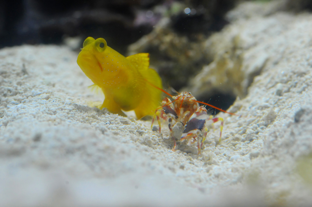 Yellow Watchman Shrimpgoby and Tiger Pistol Shrimp