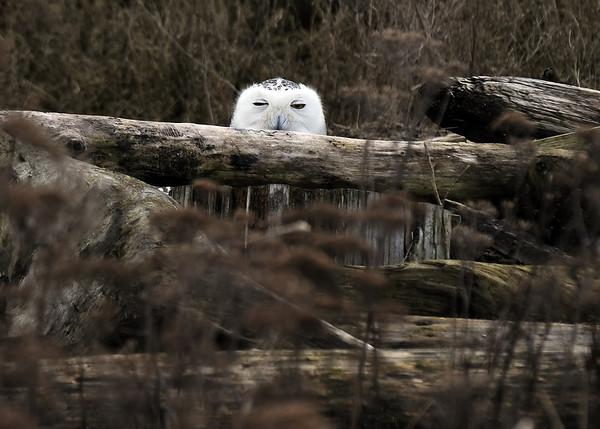 Snowy Owl blinking