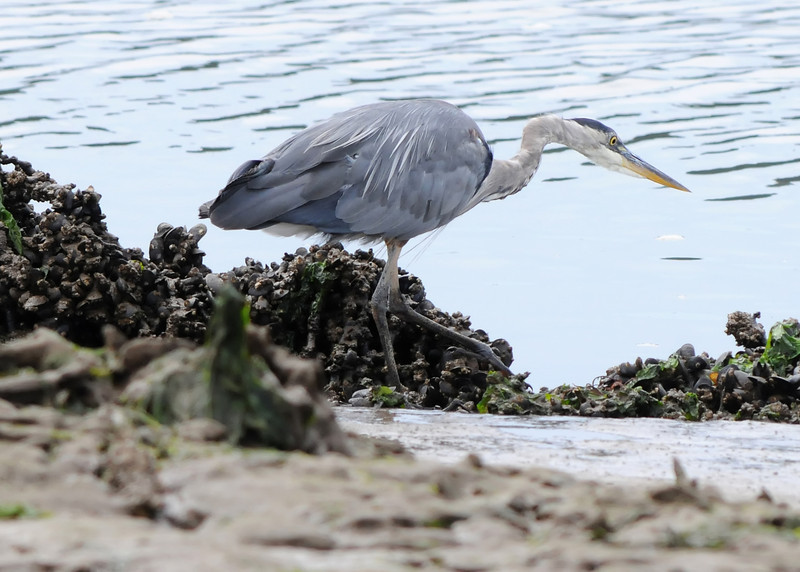 Great Blue Heron Hunting