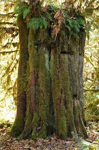 Old growth Western Red Cedar with springboard cuts