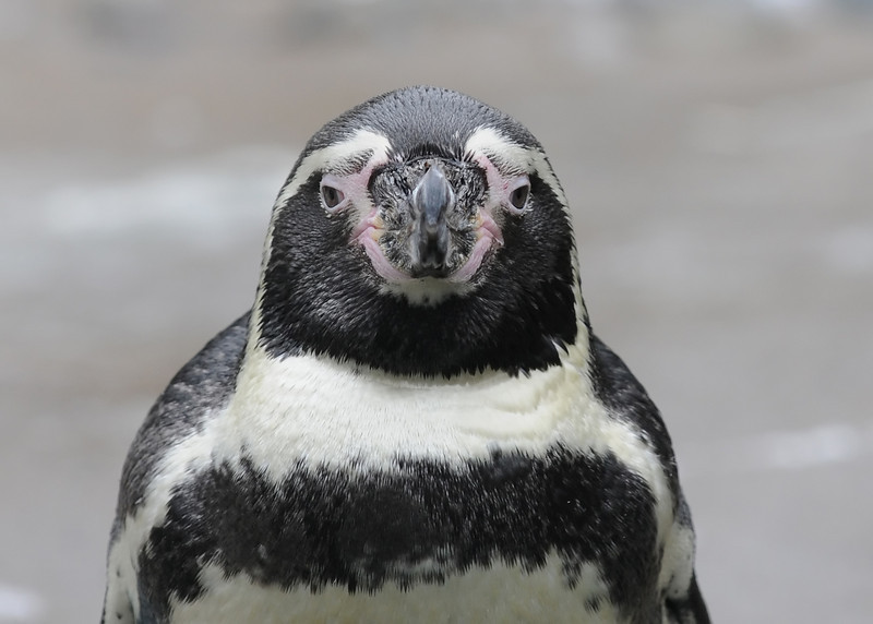 Penguin face