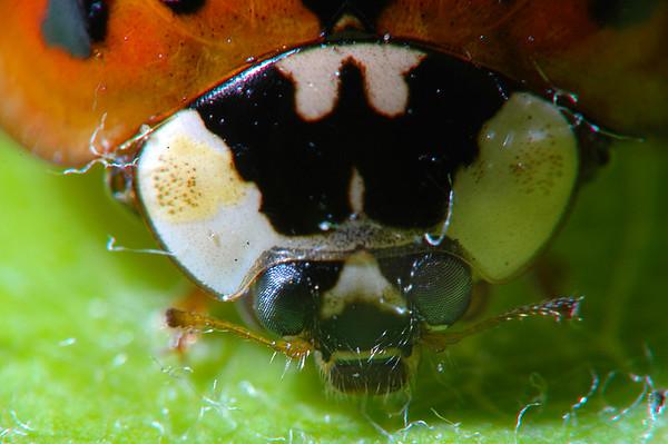 Ladybug 4.6X