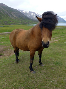 The hardy Icelandic pony has to endure some of the harshest conditions (and haircuts) on earth.