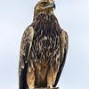 Tawny Eagle<br /> Aquila rapax
