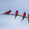 Northern Carmine Bee-eater<br /> Merops nubiscus