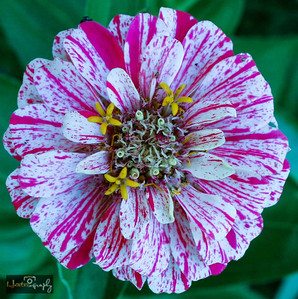 Peppermint color Zinnia.  Note the fly peeking over the top of the petal near the top of flower.