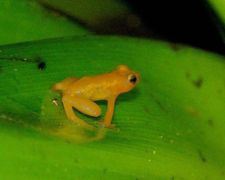 Guyana Frog