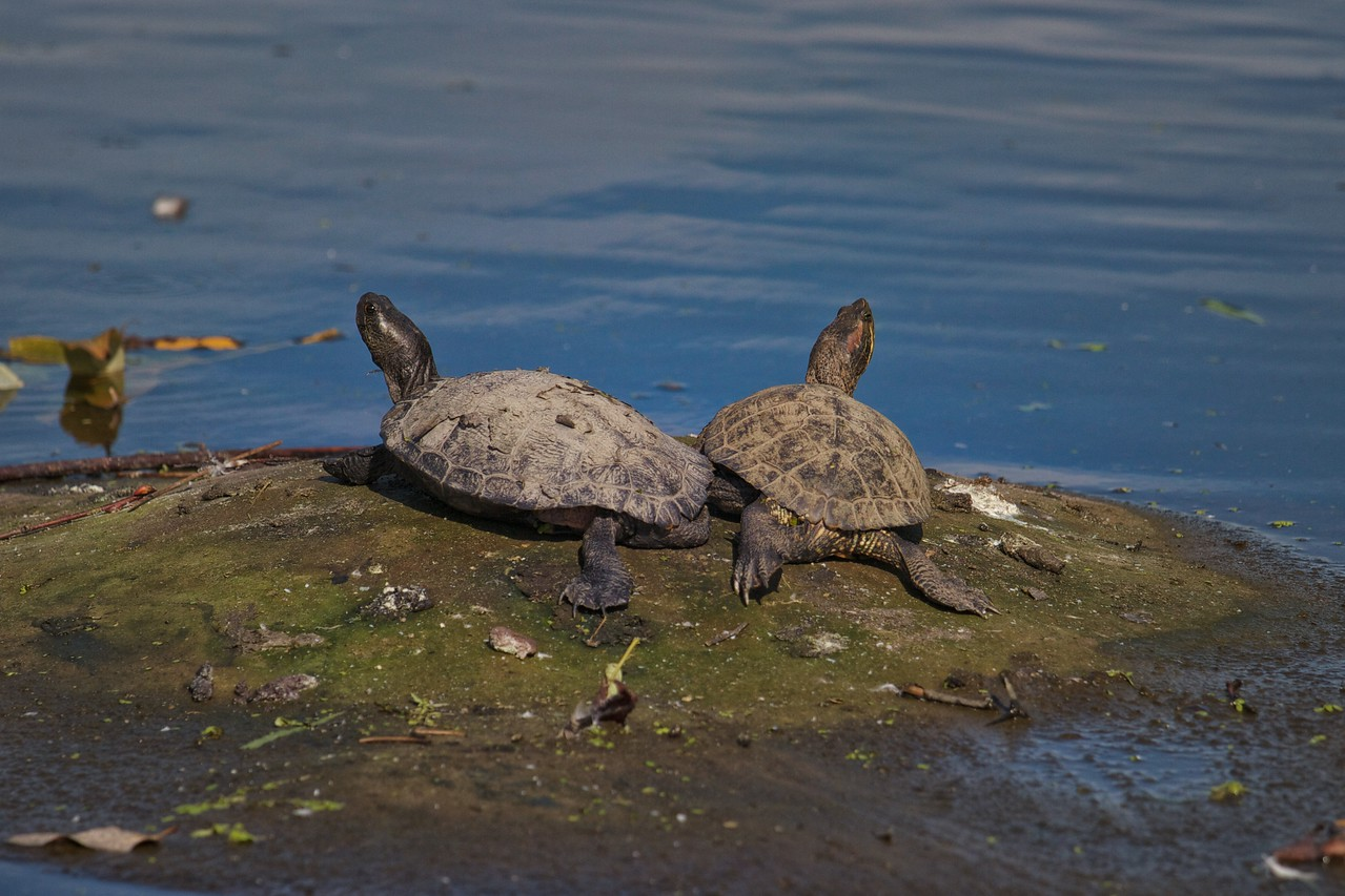 Turtles basking in the sun