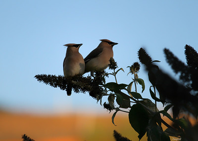 A Pair of Cedar Waxwings