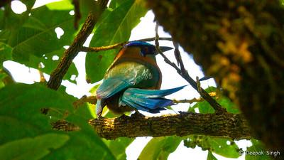 Monteverde 2020: Blue-crowned Motmot
