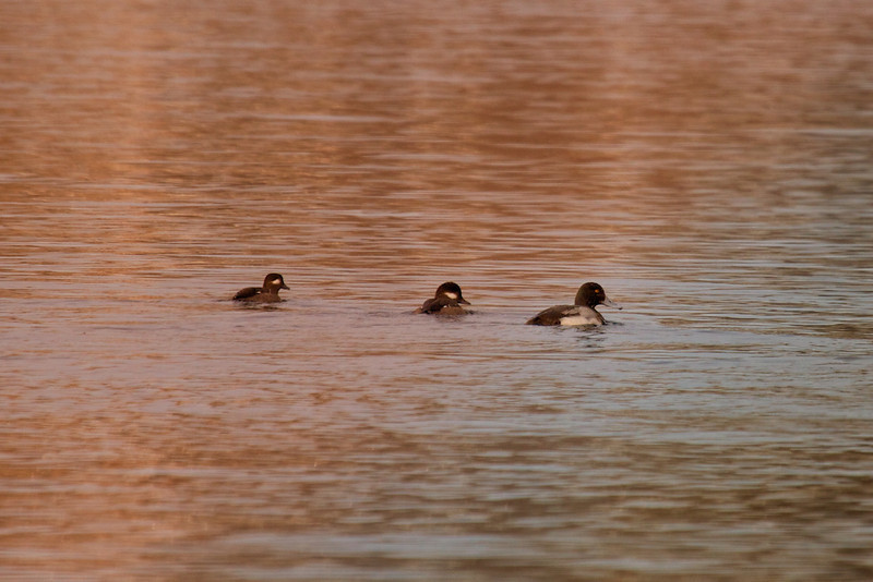 Greater Scaup + Buffleheads