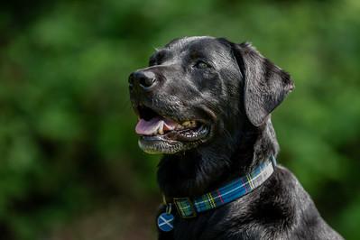 Haggis & Shadow Black Labrador, Kirstie Wales 03-06-2021 Photography by Sophie Ward