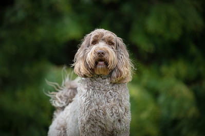 Jai the Australian Labrdoodle, West Sussex.Photography by Sophie Ward 10-05-2021