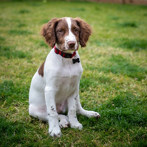 Snoop 17 week puppy Hampshire England. Sue and Arron Photography by Sophie Ward