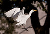 Snowy Egret ?