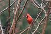 Northern Cardinal<br /> 20100124_5829