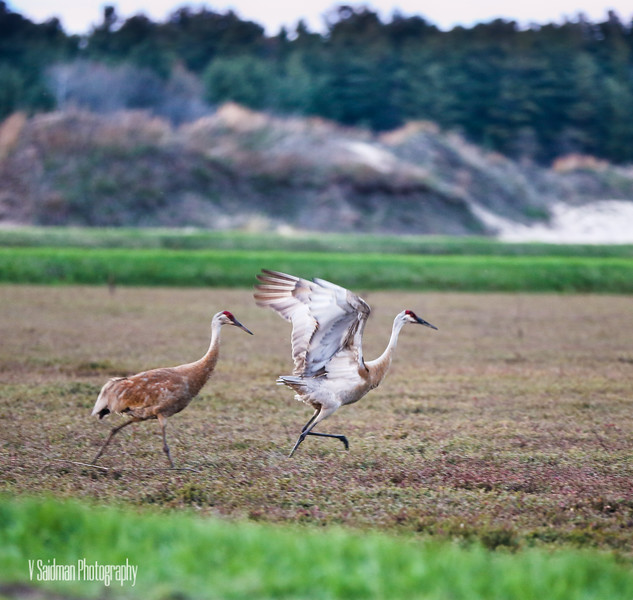Sand hill cranes having some fun