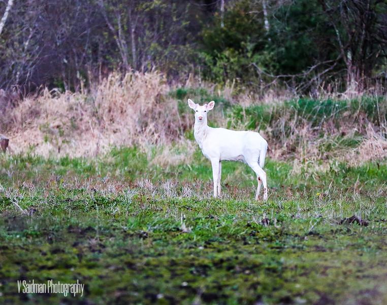 Albino Deer II