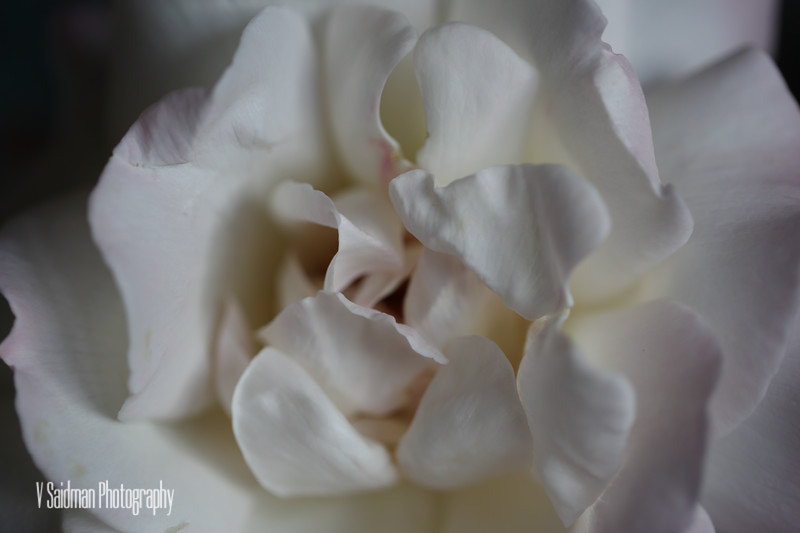 Texture of A Rose