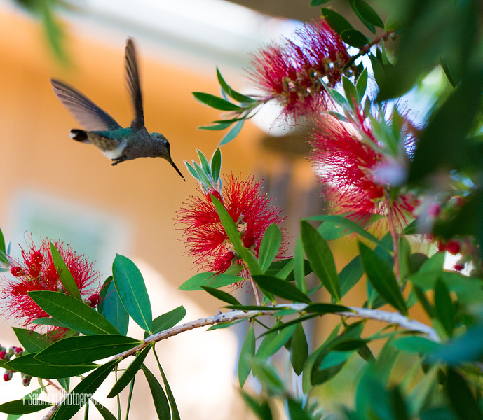 Diving Hummingbird