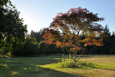 Spectacular Color in Late Summer.   This has not shown much sign of shock.  Some branches lost.