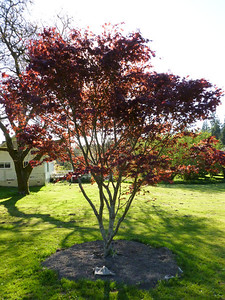 Magnificent Japanese Maple from Don and Ronnie.  Absolutely Beautiful!!!  Transplanted January 2013.  This is May 2013
