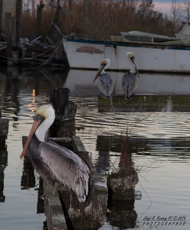The Brown Pelican Chalmette Louisiana   Photography By: Lloyd Kenney III  © 2014 All Rights Reserved