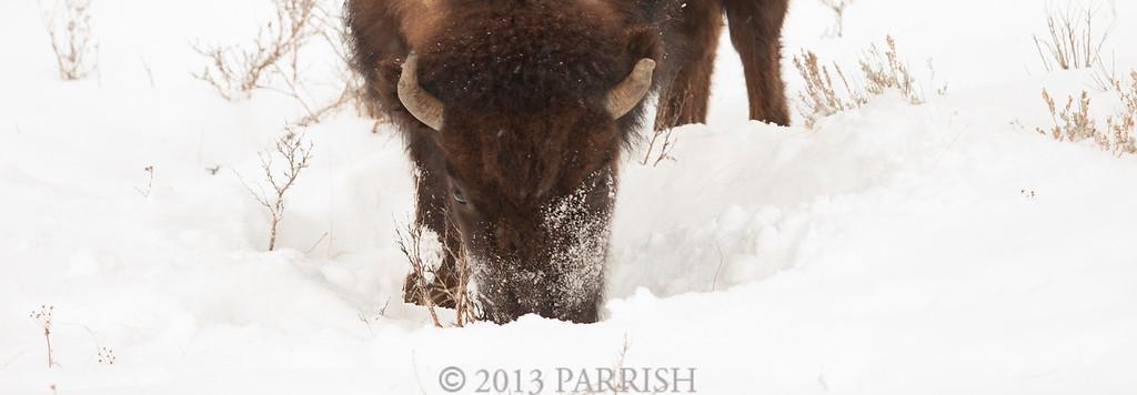 The Buffaloes of Yellowstone 2013