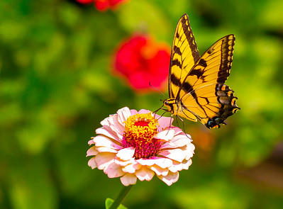 Butterflies in The Garden Aug 2018