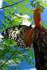 See Thru My Wings (St Martin)