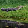Alligator reflection