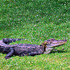 Our smiling alligator basking on the grassy knoll.