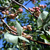Pistachio nut tree