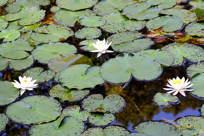 Water Lillys in the Pond at Gillette Castle State Park, CT.