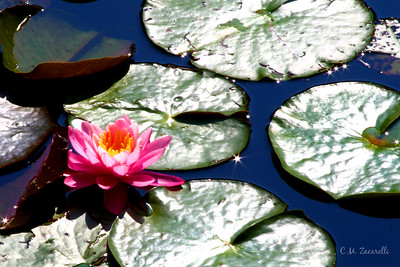 Red Water Lilly in the Pond at Gillette Castle, Ct.