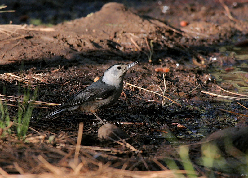 A White-Breasted Nuthatch was a bit bolder than the Hepatic Tanager.