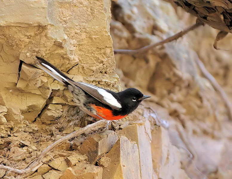 When I visited Herb Martyr and the creek again in May 2009, a Painted Redstart was busy foraging.