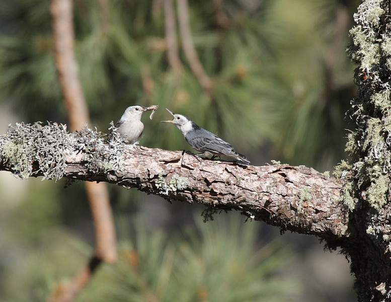 While heading back down the trail I caught these White-Breasted Nuthatches having an early dinner.
