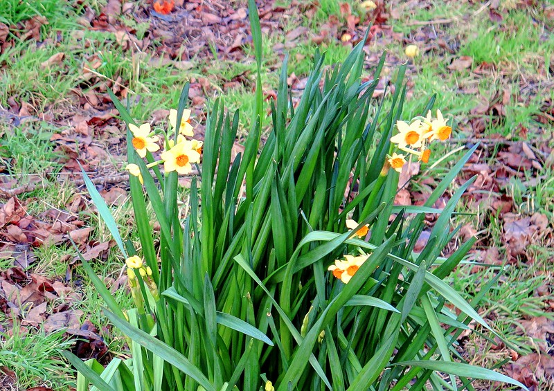24 Dec 2016 - Some early Daffodils in the tea room garden in Branscombe