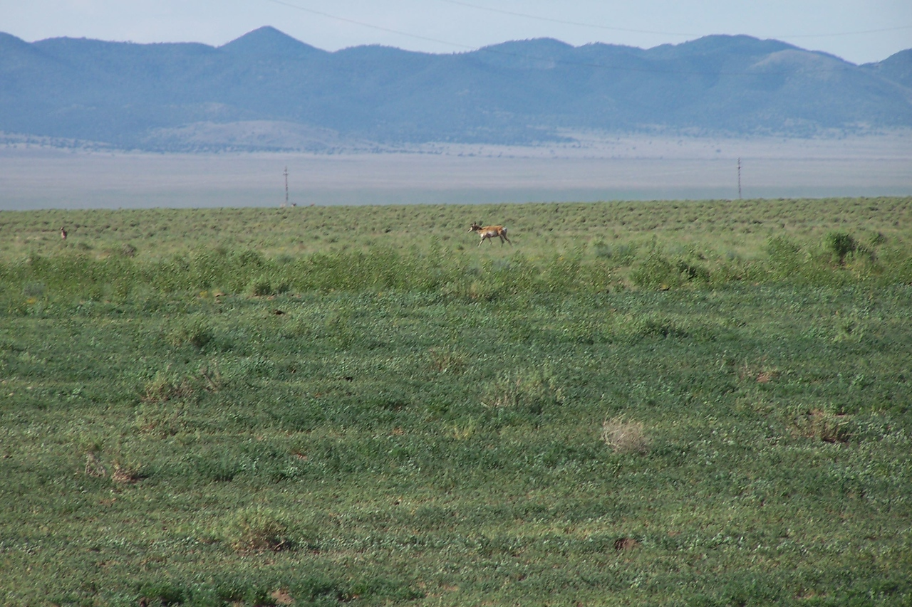 NM speed goat, AKA pronghorn antelope.