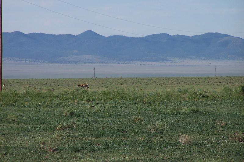 NM speed goat, AKA pronghorn antelope.