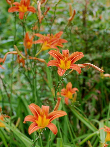 These beautiful day lilies were in full bloom and apparently as reproductive as rabbits throughout our ride and we never got tired of them.