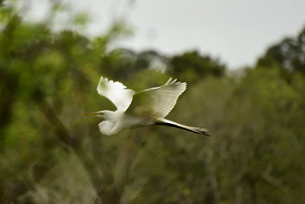 Egret in Flight, St. Andrews State Park, FL