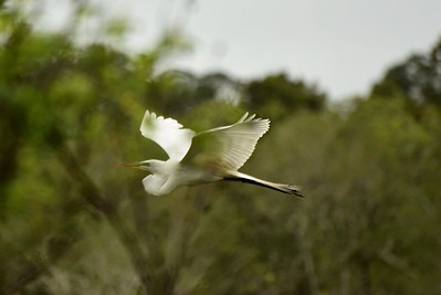Egret in Flight, St. Andrews State Park, FL