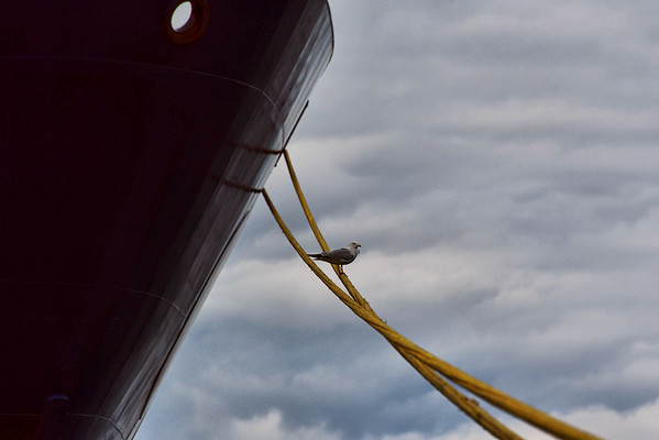 Gull on a Rope, Sarnia Harbour, Sarnia Ont
