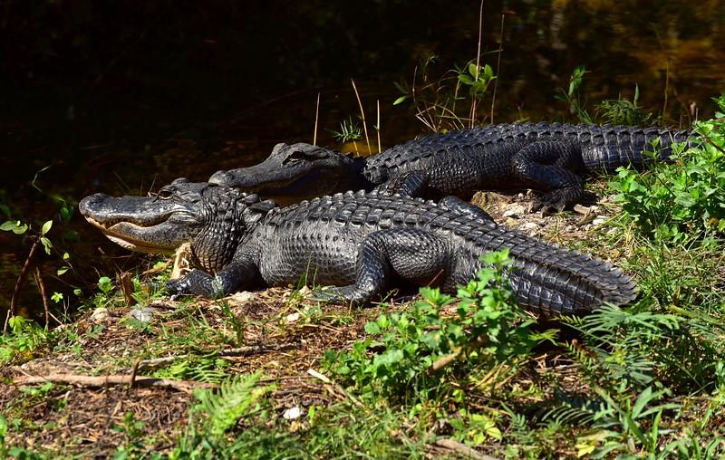 Gator's in the Glades, FL