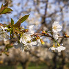 Gorge cherries are in blossom